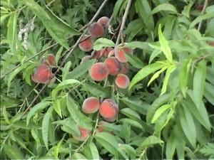 Персики в кемпинге