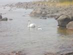Репосаари-лебеди